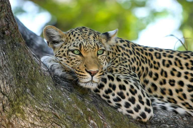 Leopard Project